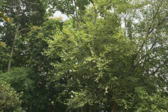 001_Chinese-Parasol_Entire-tree_Updated-photo-2019