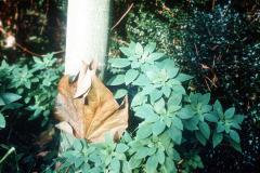 001_ChineseParasol_Tree-Trunk-with-Flash_Original-photo