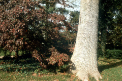 004_Green-Ash-White-Ash-actually_Entire-Tree_-Original-Photo-1