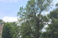 004_Green-Ash-White-Ash-actually_Entire-Tree_-Updated-Photo-2019-1