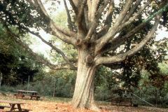 006-Swamp-Chestnut-Oak