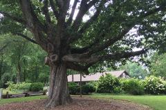 006_Swamp-Chestnut-Oak_Entire-Tree_Updated-photo
