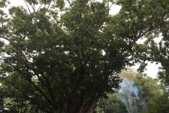 006_Swamp-Chestnut-Oak_Entire-tree_Updated-photo-2019