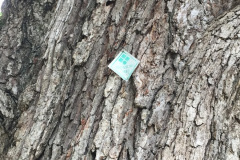 006_Swamp-Chestnut-Oak_T.T.-Tag_Updated-photo-2019.jpg-