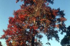 007_Black-Tupelo_Entire-Tree-in-Autumn_Original-Photo