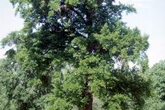 007_Black-Tupelo_Entire-Tree_Original-Photo.-jpg