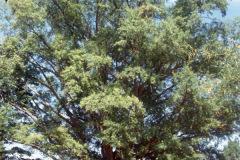008_Willow-Oak_Entire-Tree_Original-Photo-1