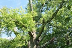 008_Willow-Oak_Entire-Tree_Updated-photo-2020