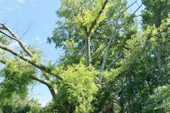 008_Willow-Oak_Entire-Tree_Updated-photo-20201