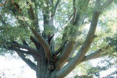 008_Willow-Oak_Tree-trunk-with-picnic-table_Original-Photo