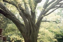009_Hackberry_Entire-tree_Original-photo