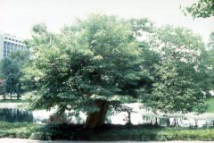 010_Paper-Mulberry_Entire-Tree-with-leaves_Original-photo