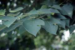 010_Paper-Mulberry_Leaves__Orginal-photo