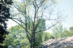 012_Black-Cherry_-Entire-Tree_Orginal-photo