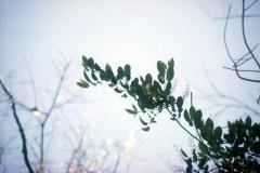 012_Black-Cherry_Leaves-against-sky_Orginal-photo