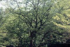 013_Flowering-Dogwood_Entire-Tree_Orginal-photo