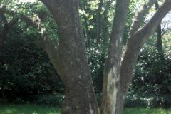 013_Flowering-Dogwood_Trunk_Orginal-photo