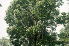 014_Chinese-Chestnut_Entire-tree_Orginal-photo