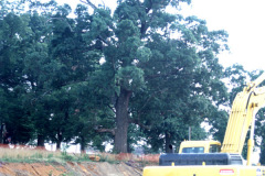 015_Black-Oak_Entire-Tree_Orginal-photo