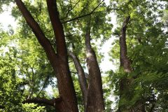018_Japanese-Pagoda-Scholar-Tree_Cabled-Trunks_Updated-photo-2020.jpg