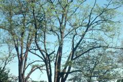 018_Japanese-Pagoda-Scholar-Tree_Entire-Tree-RIGHT_Orginal-photo