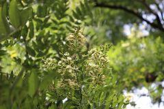 018_Japanese-Pagoda-Scholar-Tree_Flowers_Updated-photo-2020.jpg