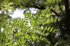018_Japanese-Pagoda-Scholar-Tree_Foliage_Updated-photo-2020.jpg-copy-2