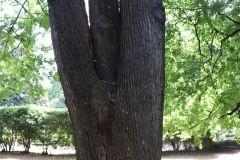 018_Japanese-Pagoda-Scholar-Tree_Trunk_Updated-photo-2020.jpg