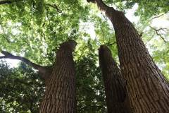 019_Japanese-Pagoda-Scholar-Tree_Cabled-Trunks_Orginal-photo.jpg