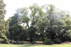 019_Japanese-Pagoda-Scholar-Tree_Entire-Tree-LEFT_Orginal-photo.jpg-1