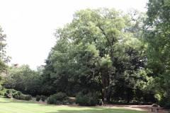 019_Japanese-Pagoda-Scholar-Tree_Entire-Tree_Orginal-photo.jpg-1-copy