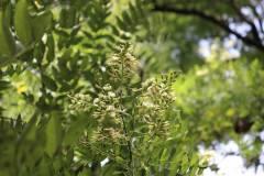019_Japanese-Pagoda-Scholar-Tree_Flowers_Orginal-photo.jpg-1-copy