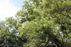 019_Japanese-Pagoda-Scholar-Tree_Flowers_Orginal-photo.jpg-3