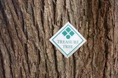 019_Japanese-Pagoda-Scholar-Tree_T.T.-Tag_Orginal-photo.jpg