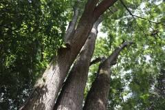019_Japanese-Pagoda-Scholar-Tree_Trunk-and-Canopy_Orginal-photo.jpg