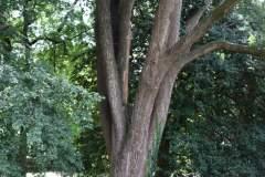 019_Japanese-Pagoda-Scholar-Tree_Trunk_Orginal-photo.jpg