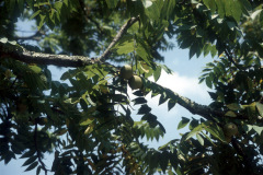 022-Black-Walnut_Leaves-and-Walnuts_Orginal-photo