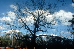 022_Black-Walnut_Entire-Tree_Orginal-photo