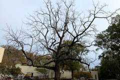 022_Black-Walnut_Entire-tree_Updated-photo-2019