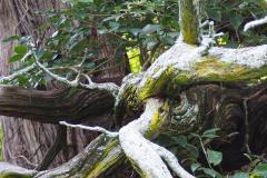 023_Oriental-Arborvitae_Limbs_Updated-photo-2020.jpg