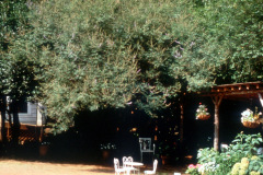 024_Chaste-Tree_Canopy_Orginal-photo