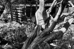 024_Chaste-Tree_Trunk_Updated-photo-2020-copy