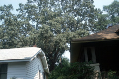 025_Southern-Red-Oak_Entire-Tree-behind-home_Original-Photo