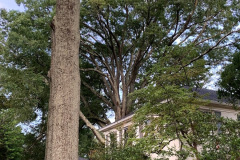 027_Willow-Oak_Entire-Tree_087_Laurel-Oak_Canopy_Updated-photo-2019