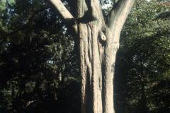 027_Willow-Oak_Entire-Tree_Original-Photo