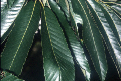 028_European-Sweet-Chestnut_Leaves_Original-Photo