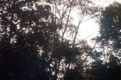 029_Mimosa_Full-tree_Original-Photo