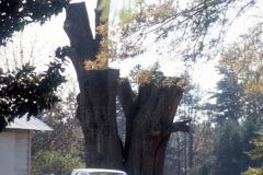 031_Willow-Oak-4_Remaining-trunk_Original-Photo