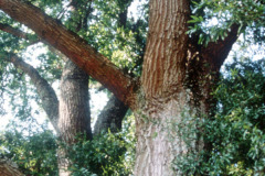 031_Willow-Oak_Branches-and-canopy_Original-Photo