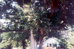 031_Willow-Oak_Canopy_Original-Photo